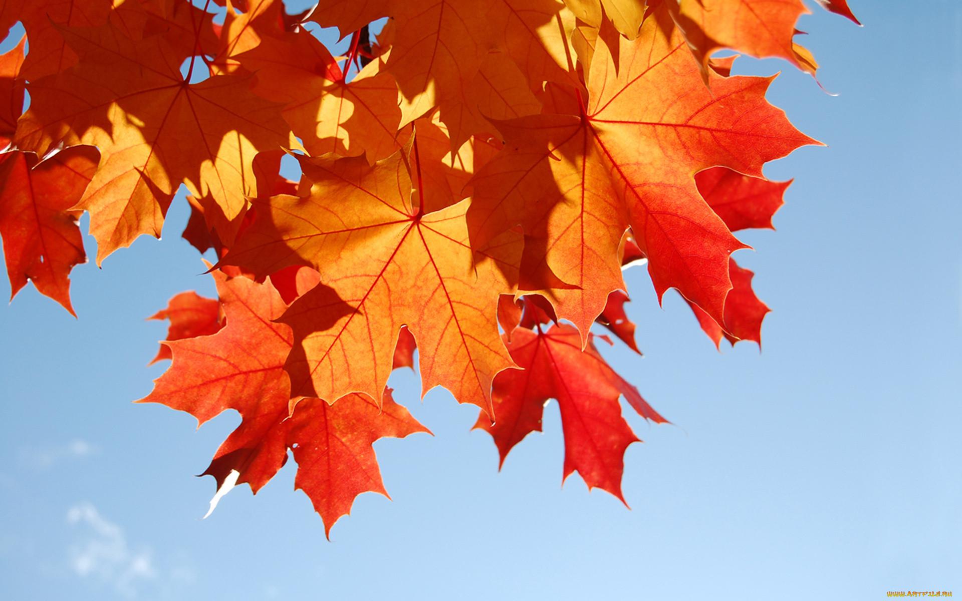 Картинки на рабочий стол осень листья кленовые